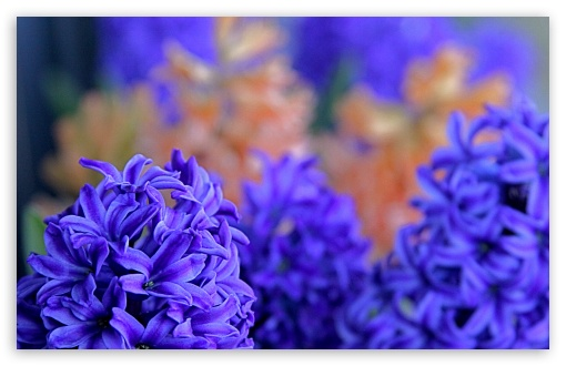 Hyacinths HD wallpaper for Wide 16:10 5:3 Widescreen WHXGA WQXGA WUXGA WXGA WGA ; HD 16:9 High Definition WQHD QWXGA 1080p 900p 720p QHD nHD ; UHD 16:9 WQHD QWXGA 1080p 900p 720p QHD nHD ; Standard 4:3 5:4 3:2 Fullscreen UXGA XGA SVGA QSXGA SXGA DVGA HVGA HQVGA devices ( Apple PowerBook G4 iPhone 4 3G 3GS iPod Touch ) ; Tablet 1:1 ; iPad 1/2/Mini ; Mobile 4:3 5:3 3:2 16:9 5:4 - UXGA XGA SVGA WGA DVGA HVGA HQVGA devices ( Apple PowerBook G4 iPhone 4 3G 3GS iPod Touch ) WQHD QWXGA 1080p 900p 720p QHD nHD QSXGA SXGA ; Dual 16:10 5:3 16:9 4:3 5:4 WHXGA WQXGA WUXGA WXGA WGA WQHD QWXGA 1080p 900p 720p QHD nHD UXGA XGA SVGA QSXGA SXGA ;