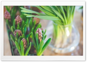 Hyacinths Indoor HD Wide Wallpaper for Widescreen