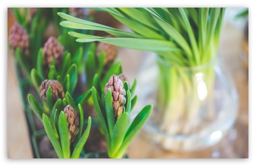 Hyacinths Indoor ❤ 4K UHD Wallpaper for Wide 16:10 5:3 Widescreen WHXGA WQXGA WUXGA WXGA WGA ; 4K UHD 16:9 Ultra High Definition 2160p 1440p 1080p 900p 720p ; UHD 16:9 2160p 1440p 1080p 900p 720p ; Standard 4:3 5:4 3:2 Fullscreen UXGA XGA SVGA QSXGA SXGA DVGA HVGA HQVGA ( Apple PowerBook G4 iPhone 4 3G 3GS iPod Touch ) ; Smartphone 5:3 WGA ; Tablet 1:1 ; iPad 1/2/Mini ; Mobile 4:3 5:3 3:2 16:9 5:4 - UXGA XGA SVGA WGA DVGA HVGA HQVGA ( Apple PowerBook G4 iPhone 4 3G 3GS iPod Touch ) 2160p 1440p 1080p 900p 720p QSXGA SXGA ;