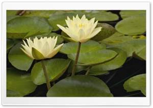 Hybrid Water Lilies White River Gardens State Park Indianapolis Indiana HD Wide Wallpaper for Widescreen