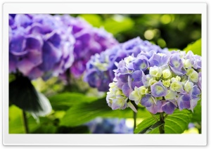 Hydrangea HD Wide Wallpaper for Widescreen