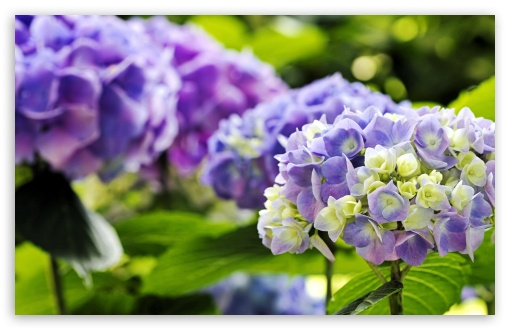 Hydrangea ❤ 4K UHD Wallpaper for Wide 16:10 5:3 Widescreen WHXGA WQXGA WUXGA WXGA WGA ; 4K UHD 16:9 Ultra High Definition 2160p 1440p 1080p 900p 720p ; Standard 4:3 5:4 3:2 Fullscreen UXGA XGA SVGA QSXGA SXGA DVGA HVGA HQVGA ( Apple PowerBook G4 iPhone 4 3G 3GS iPod Touch ) ; Tablet 1:1 ; iPad 1/2/Mini ; Mobile 4:3 5:3 3:2 16:9 5:4 - UXGA XGA SVGA WGA DVGA HVGA HQVGA ( Apple PowerBook G4 iPhone 4 3G 3GS iPod Touch ) 2160p 1440p 1080p 900p 720p QSXGA SXGA ;