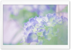 Hydrangea Blossoms HD Wide Wallpaper for Widescreen