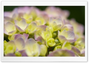 Hydrangea Blossoms 1 HD Wide Wallpaper for Widescreen