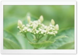 Hydrangea Buds HD Wide Wallpaper for Widescreen