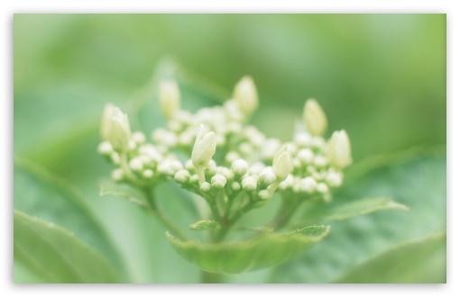 Hydrangea Buds ❤ 4K UHD Wallpaper for Wide 16:10 5:3 Widescreen WHXGA WQXGA WUXGA WXGA WGA ; 4K UHD 16:9 Ultra High Definition 2160p 1440p 1080p 900p 720p ; Standard 4:3 5:4 3:2 Fullscreen UXGA XGA SVGA QSXGA SXGA DVGA HVGA HQVGA ( Apple PowerBook G4 iPhone 4 3G 3GS iPod Touch ) ; Tablet 1:1 ; iPad 1/2/Mini ; Mobile 4:3 5:3 3:2 16:9 5:4 - UXGA XGA SVGA WGA DVGA HVGA HQVGA ( Apple PowerBook G4 iPhone 4 3G 3GS iPod Touch ) 2160p 1440p 1080p 900p 720p QSXGA SXGA ;
