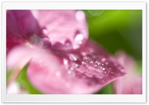 Hydrangea Waterdrops Macro HD Wide Wallpaper for Widescreen