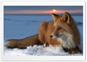 Ice Fox HD Wide Wallpaper for Widescreen