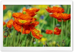 Iceland Poppies Orange Flowers Field HD Wide Wallpaper for 4K UHD Widescreen desktop & smartphone