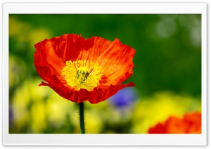 Iceland Poppy Orange Flower HD Wide Wallpaper for 4K UHD Widescreen desktop & smartphone