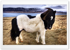Icelandic Horse HD Wide Wallpaper for Widescreen