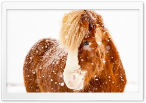 Icelandic Horse, Snowflakes, Winter HD Wide Wallpaper for 4K UHD Widescreen desktop & smartphone