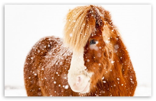 Icelandic Horse, Snowflakes, Winter ❤ 4K UHD Wallpaper for Wide 16:10 5:3 Widescreen WHXGA WQXGA WUXGA WXGA WGA ; 4K UHD 16:9 Ultra High Definition 2160p 1440p 1080p 900p 720p ; UHD 16:9 2160p 1440p 1080p 900p 720p ; Standard 4:3 5:4 3:2 Fullscreen UXGA XGA SVGA QSXGA SXGA DVGA HVGA HQVGA ( Apple PowerBook G4 iPhone 4 3G 3GS iPod Touch ) ; Smartphone 16:9 3:2 5:3 2160p 1440p 1080p 900p 720p DVGA HVGA HQVGA ( Apple PowerBook G4 iPhone 4 3G 3GS iPod Touch ) WGA ; Tablet 1:1 ; iPad 1/2/Mini ; Mobile 4:3 5:3 3:2 16:9 5:4 - UXGA XGA SVGA WGA DVGA HVGA HQVGA ( Apple PowerBook G4 iPhone 4 3G 3GS iPod Touch ) 2160p 1440p 1080p 900p 720p QSXGA SXGA ;