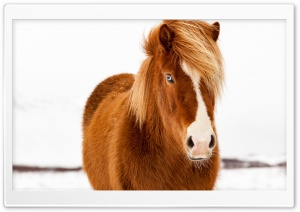 Icelandic Horse, Winter HD Wide Wallpaper for 4K UHD Widescreen desktop & smartphone