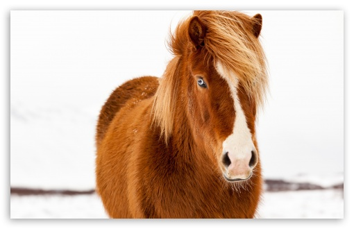 Icelandic Horse, Winter ❤ 4K UHD Wallpaper for Wide 16:10 5:3 Widescreen WHXGA WQXGA WUXGA WXGA WGA ; 4K UHD 16:9 Ultra High Definition 2160p 1440p 1080p 900p 720p ; UHD 16:9 2160p 1440p 1080p 900p 720p ; Standard 4:3 5:4 3:2 Fullscreen UXGA XGA SVGA QSXGA SXGA DVGA HVGA HQVGA ( Apple PowerBook G4 iPhone 4 3G 3GS iPod Touch ) ; Smartphone 16:9 3:2 5:3 2160p 1440p 1080p 900p 720p DVGA HVGA HQVGA ( Apple PowerBook G4 iPhone 4 3G 3GS iPod Touch ) WGA ; Tablet 1:1 ; iPad 1/2/Mini ; Mobile 4:3 5:3 3:2 16:9 5:4 - UXGA XGA SVGA WGA DVGA HVGA HQVGA ( Apple PowerBook G4 iPhone 4 3G 3GS iPod Touch ) 2160p 1440p 1080p 900p 720p QSXGA SXGA ;