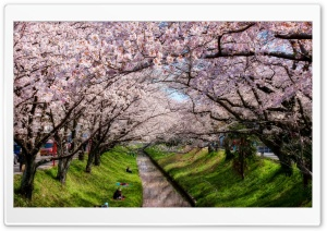Iga River And Sakura Ultra HD Wallpaper for 4K UHD Widescreen desktop, tablet & smartphone