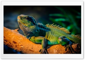 Iguana HD Wide Wallpaper for Widescreen