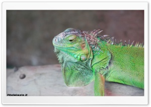 Iguana HD Wide Wallpaper for 4K UHD Widescreen desktop & smartphone