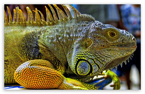 Iguana In Malaysia HD wallpaper for Standard 4:3 5:4 Fullscreen UXGA XGA SVGA QSXGA SXGA ; Wide 16:10 5:3 Widescreen WHXGA WQXGA WUXGA WXGA WGA ; HD 16:9 High Definition WQHD QWXGA 1080p 900p 720p QHD nHD ; Other 3:2 DVGA HVGA HQVGA devices ( Apple PowerBook G4 iPhone 4 3G 3GS iPod Touch ) ; Mobile VGA WVGA iPhone iPad PSP Phone - VGA QVGA Smartphone ( PocketPC GPS iPod Zune BlackBerry HTC Samsung LG Nokia Eten Asus ) WVGA WQVGA Smartphone ( HTC Samsung Sony Ericsson LG Vertu MIO ) HVGA Smartphone ( Apple iPhone iPod BlackBerry HTC Samsung Nokia ) Sony PSP Zune HD Zen ;