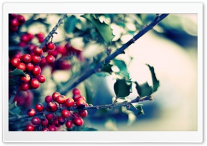 Ilex (Holly) HD Wide Wallpaper for Widescreen