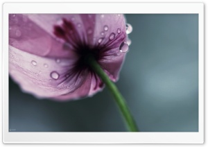 iMac Poppy HD Wide Wallpaper for Widescreen