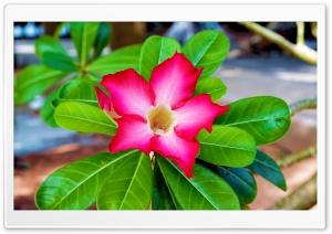 Impala Lily flower HD Wide Wallpaper for 4K UHD Widescreen desktop & smartphone