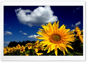 Impressive Sunflower HD Wide Wallpaper for 4K UHD Widescreen desktop & smartphone