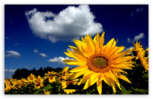 Impressive Sunflower ❤ 4K UHD Wallpaper for Wide 16:10 5:3 Widescreen WHXGA WQXGA WUXGA WXGA WGA ; 4K UHD 16:9 Ultra High Definition 2160p 1440p 1080p 900p 720p ; Standard 4:3 5:4 3:2 Fullscreen UXGA XGA SVGA QSXGA SXGA DVGA HVGA HQVGA ( Apple PowerBook G4 iPhone 4 3G 3GS iPod Touch ) ; Tablet 1:1 ; iPad 1/2/Mini ; Mobile 4:3 5:3 3:2 16:9 5:4 - UXGA XGA SVGA WGA DVGA HVGA HQVGA ( Apple PowerBook G4 iPhone 4 3G 3GS iPod Touch ) 2160p 1440p 1080p 900p 720p QSXGA SXGA ;