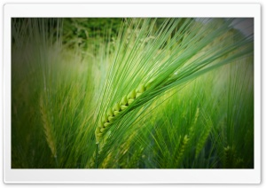 In The Wheat Field HD Wide Wallpaper for Widescreen