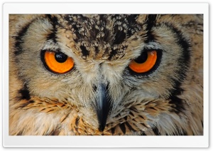 Indian Owl HD Wide Wallpaper for Widescreen