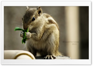 Indian Palm Squirrel HD Wide Wallpaper for Widescreen