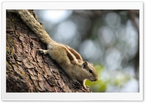 Indian Squirrel HD Wide Wallpaper for Widescreen
