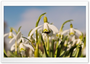 Insect On Snowdrop HD Wide Wallpaper for 4K UHD Widescreen desktop & smartphone