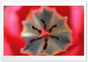 Inside A Tulip HD Wide Wallpaper for Widescreen