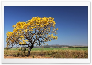 Ipê Tree HD Wide Wallpaper for 4K UHD Widescreen desktop & smartphone