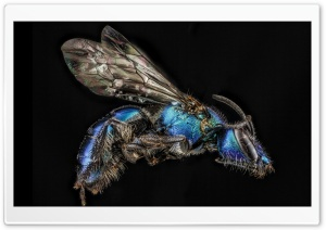 Iridescent Bee, Augochlora Regina HD Wide Wallpaper for Widescreen