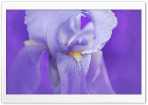 Iris Flower HD Wide Wallpaper for Widescreen