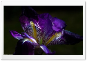Iris Flower Macro HD Wide Wallpaper for Widescreen