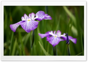 Irises Field HD Wide Wallpaper for Widescreen