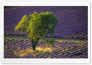 Isolated Tree In Lavender Field Baronniers France Ultra HD Wallpaper for 4K UHD Widescreen desktop, tablet & smartphone
