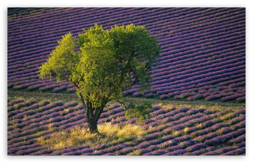 Isolated Tree In Lavender Field Baronniers France HD wallpaper for Wide 16:10 5:3 Widescreen WHXGA WQXGA WUXGA WXGA WGA ; HD 16:9 High Definition WQHD QWXGA 1080p 900p 720p QHD nHD ; Standard 4:3 5:4 3:2 Fullscreen UXGA XGA SVGA QSXGA SXGA DVGA HVGA HQVGA devices ( Apple PowerBook G4 iPhone 4 3G 3GS iPod Touch ) ; Tablet 1:1 ; iPad 1/2/Mini ; Mobile 4:3 5:3 3:2 16:9 5:4 - UXGA XGA SVGA WGA DVGA HVGA HQVGA devices ( Apple PowerBook G4 iPhone 4 3G 3GS iPod Touch ) WQHD QWXGA 1080p 900p 720p QHD nHD QSXGA SXGA ;