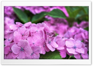 It's Hydrangea Time In Japan HD Wide Wallpaper for 4K UHD Widescreen desktop & smartphone