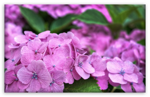 It's Hydrangea Time In Japan HD wallpaper for Wide 16:10 5:3 Widescreen WHXGA WQXGA WUXGA WXGA WGA ; HD 16:9 High Definition WQHD QWXGA 1080p 900p 720p QHD nHD ; UHD 16:9 WQHD QWXGA 1080p 900p 720p QHD nHD ; Standard 4:3 5:4 3:2 Fullscreen UXGA XGA SVGA QSXGA SXGA DVGA HVGA HQVGA devices ( Apple PowerBook G4 iPhone 4 3G 3GS iPod Touch ) ; Tablet 1:1 ; iPad 1/2/Mini ; Mobile 4:3 5:3 3:2 16:9 5:4 - UXGA XGA SVGA WGA DVGA HVGA HQVGA devices ( Apple PowerBook G4 iPhone 4 3G 3GS iPod Touch ) WQHD QWXGA 1080p 900p 720p QHD nHD QSXGA SXGA ; Dual 16:10 5:3 16:9 4:3 5:4 WHXGA WQXGA WUXGA WXGA WGA WQHD QWXGA 1080p 900p 720p QHD nHD UXGA XGA SVGA QSXGA SXGA ;