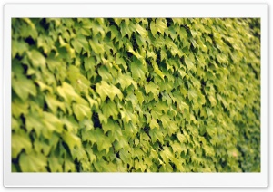 Ivy Wall, Summer HD Wide Wallpaper for Widescreen