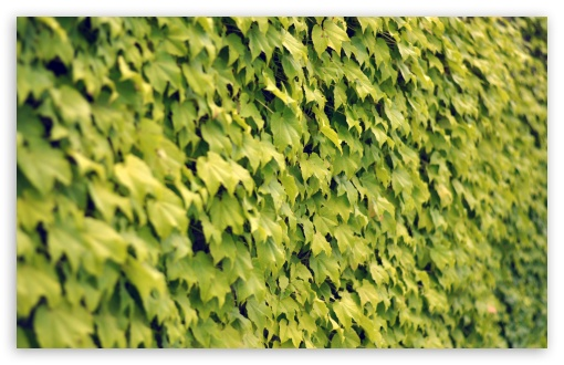 Ivy Wall, Summer ❤ 4K UHD Wallpaper for Wide 16:10 5:3 Widescreen WHXGA WQXGA WUXGA WXGA WGA ; 4K UHD 16:9 Ultra High Definition 2160p 1440p 1080p 900p 720p ; Standard 4:3 5:4 3:2 Fullscreen UXGA XGA SVGA QSXGA SXGA DVGA HVGA HQVGA ( Apple PowerBook G4 iPhone 4 3G 3GS iPod Touch ) ; Tablet 1:1 ; iPad 1/2/Mini ; Mobile 4:3 5:3 3:2 16:9 5:4 - UXGA XGA SVGA WGA DVGA HVGA HQVGA ( Apple PowerBook G4 iPhone 4 3G 3GS iPod Touch ) 2160p 1440p 1080p 900p 720p QSXGA SXGA ; Dual 16:10 5:3 16:9 4:3 5:4 WHXGA WQXGA WUXGA WXGA WGA 2160p 1440p 1080p 900p 720p UXGA XGA SVGA QSXGA SXGA ;