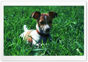 Jack Russell Terrier In The Grass HD Wide Wallpaper for Widescreen