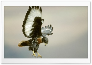 Jackal Buzzard Buteo Rufofuscus In Flight Drakensberg Kwazulu Natal South Africa HD Wide Wallpaper for Widescreen