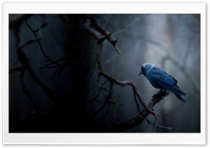 Jackdaw HD Wide Wallpaper for Widescreen