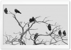 Jackdaws HD Wide Wallpaper for Widescreen