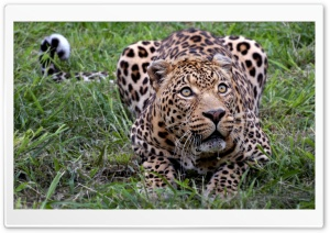 Jaguar Animal HD Wide Wallpaper for Widescreen